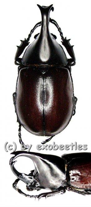 Xylotrupes gideon ssp.siamensis  ( 50 – 54 )