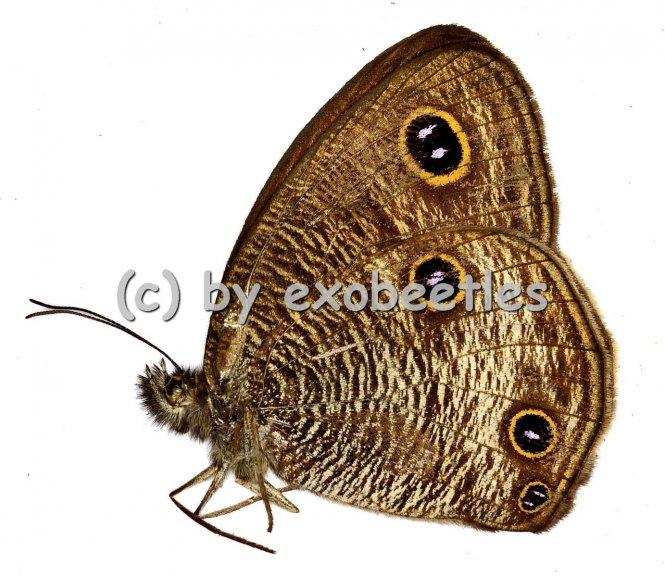 Ypthima imitans  A1/A-