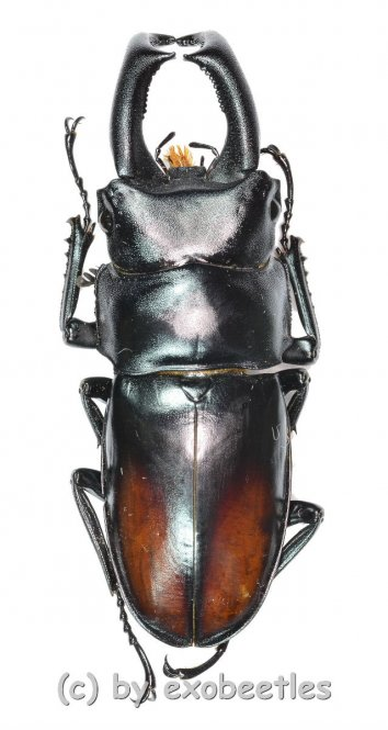 Yumikoi makii  ( 45 – 49 )