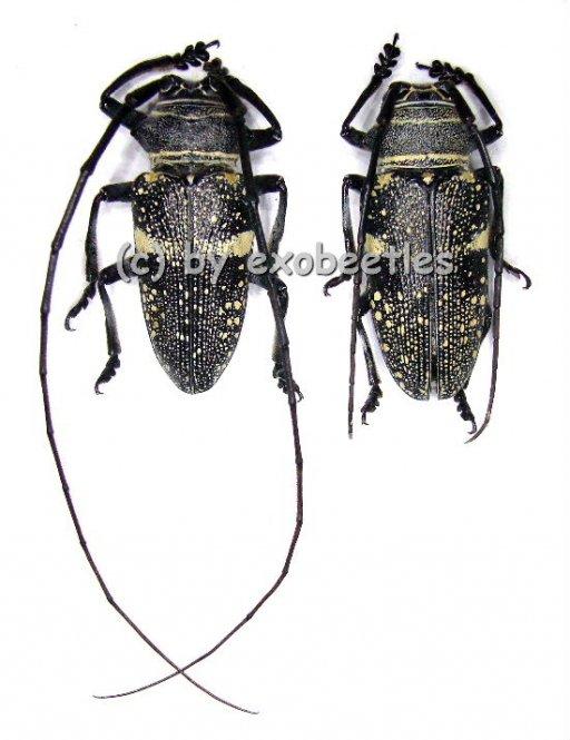 Zographus aulicus  ( M 30 - 34 )