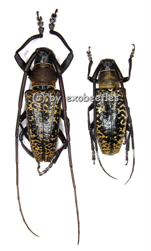 blepephaeus mindanaonis a2 in cerambycidae insekten aus aller welt online kaufen bei. Black Bedroom Furniture Sets. Home Design Ideas