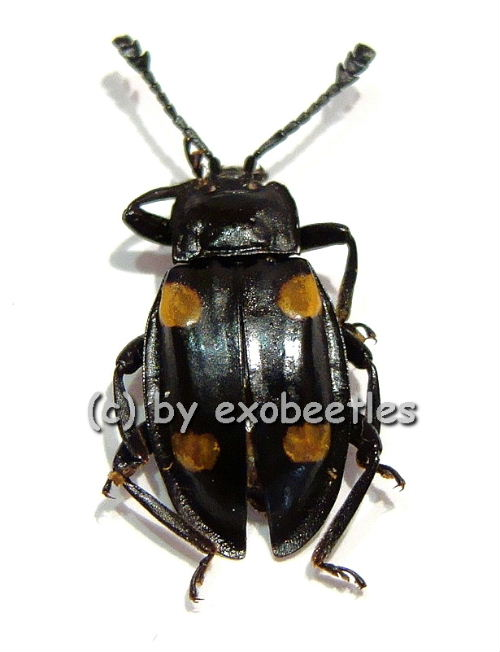 eumorphus spec in endomychidae insekten aus aller welt online kaufen bei exobeetles dem. Black Bedroom Furniture Sets. Home Design Ideas