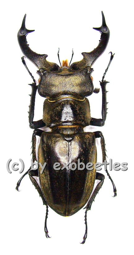 lucanus sericeus sericeus 60 64 in lucanidae insekten aus aller welt online kaufen bei. Black Bedroom Furniture Sets. Home Design Ideas