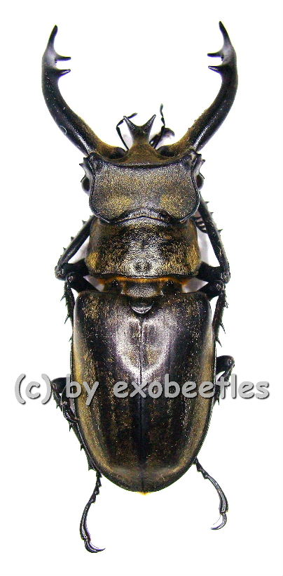 lucanus thibetanus katsurai 50 54 in lucanidae insekten aus aller welt online kaufen bei. Black Bedroom Furniture Sets. Home Design Ideas